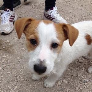 Artù - Jack Russell Terrier